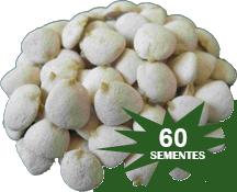 Noz da índia kit 60 sementes